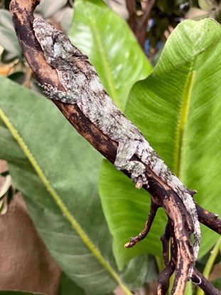 Picture of Baby False Chameleon